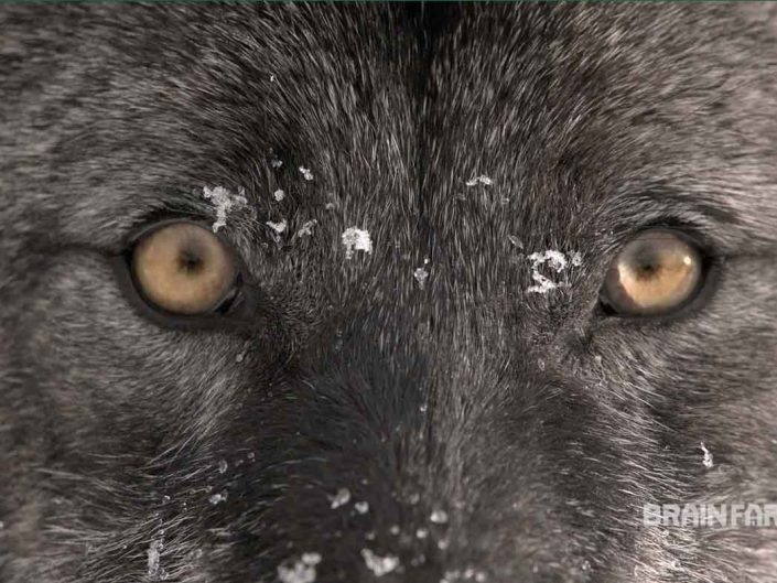 Wolves Tracking – Frozen Frontier