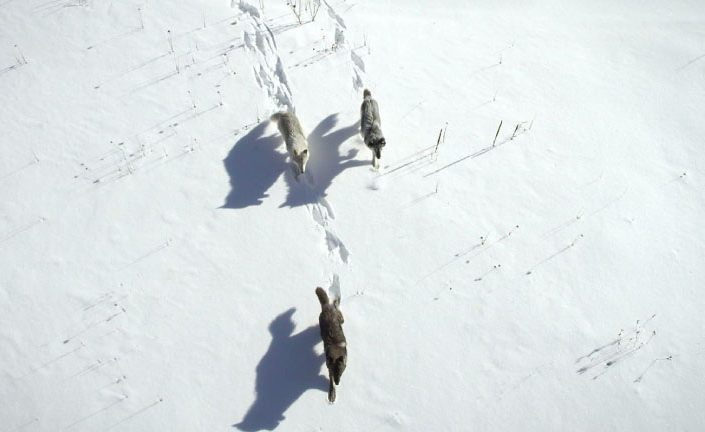 Wolves 1st Hunt – Wild Yellowstone